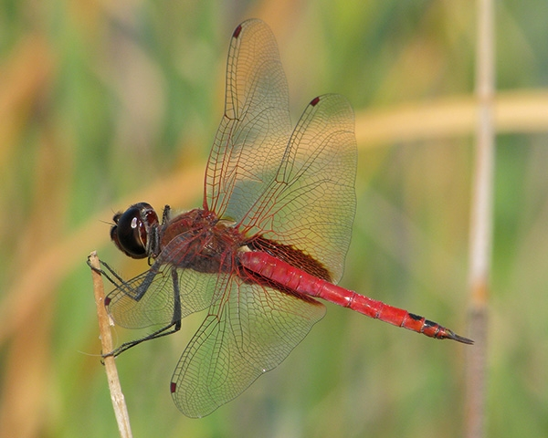 Antillean Saddlebags