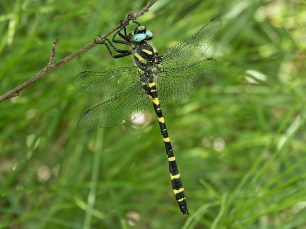 Apache Spiketail