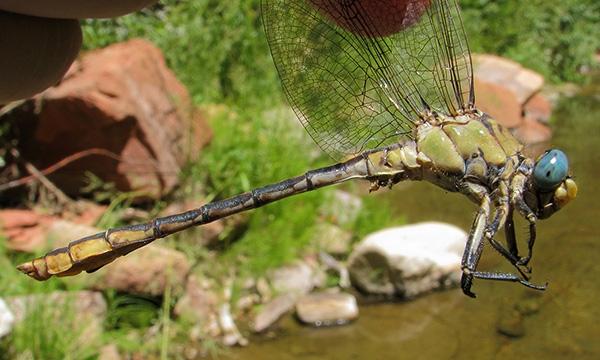 Arizona Snaketail