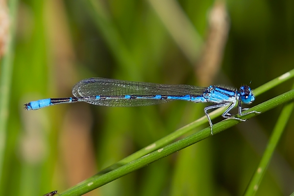 Arroyo Bluet