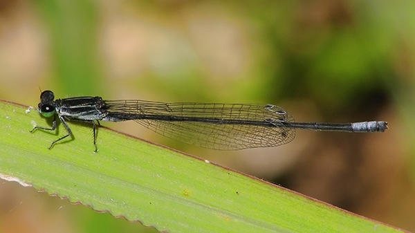 Black-and-White Damsel