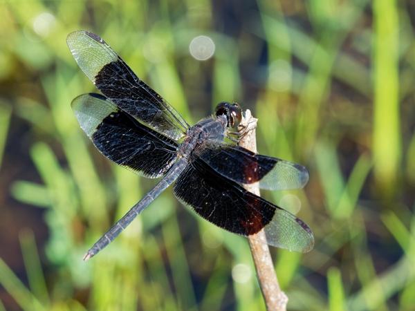 Black-winged Dragonlet