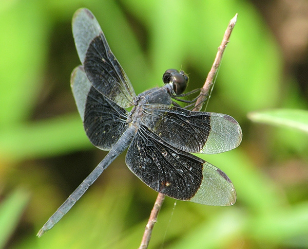 Black winged dragonfly - photo#8