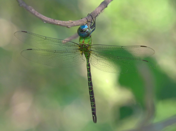 Blue-faced Darner