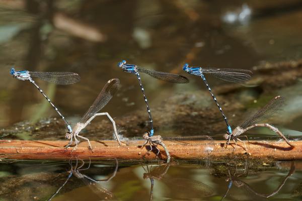 Blue-ringed Dancer