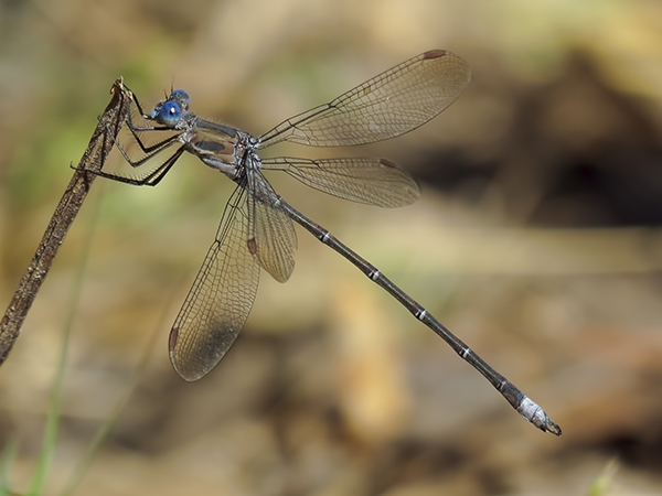 California Spreadwing