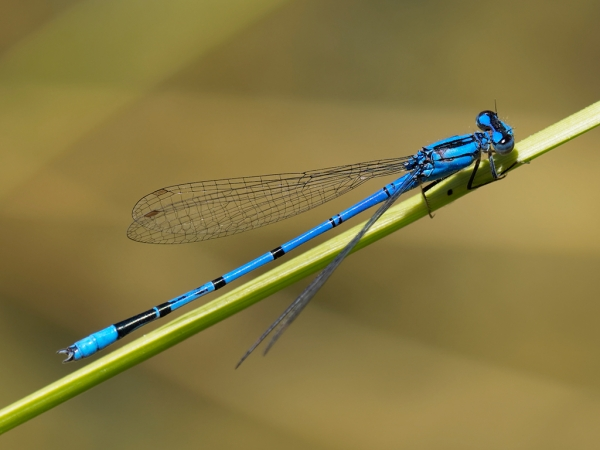 Claw-tipped Bluet