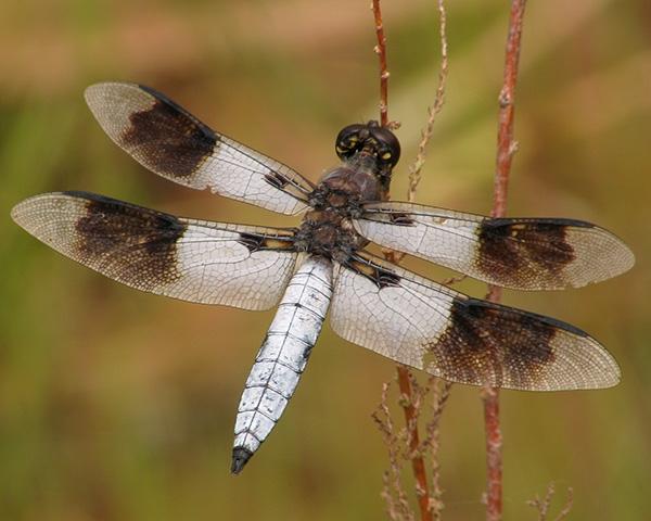 Desert Whitetail