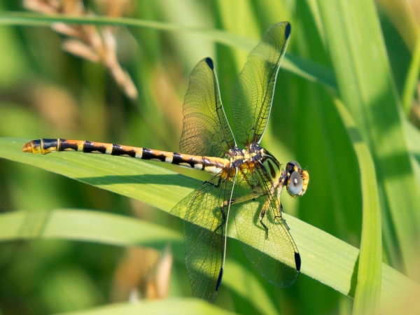 Eastern Ringtail