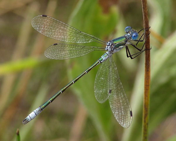 Emerald Spreadwing
