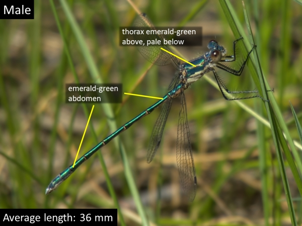 Emerald Spreadwing, Male, Marsh near Willow Springs Lake, Coconino, AZ, 11 June 2016