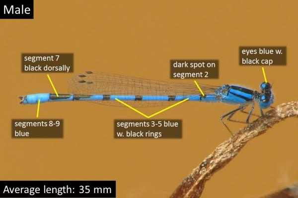 Familiar Bluet, Male, Walker Creek, Apache, AZ, 25 July 2011