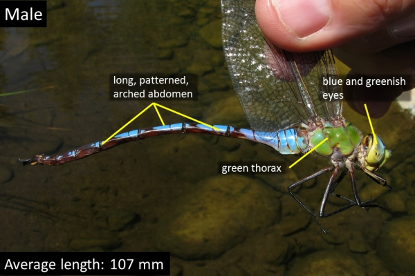 Giant Darner, Male, Jewel of the Creek Preserve, Cave Creek, Maricopa, AZ, 11 September 2010