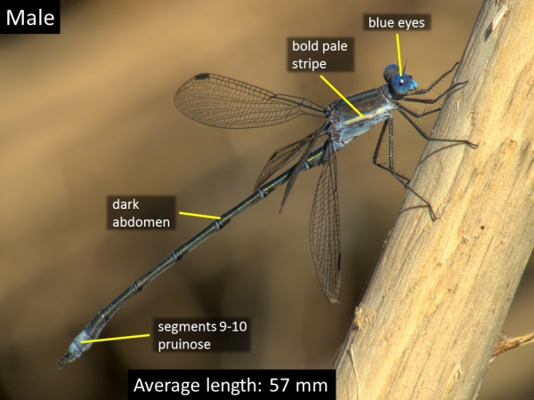 Great Spreadwing, Male, Jewel of the Creek Preserve, Maricopa, AZ, 9 November 2014