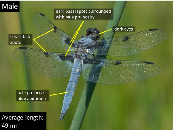 Hoary Skimmer, Male, Marsh along CR4366 north of Springerville, Apache, AZ, 12 June 2016