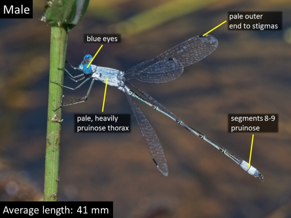 Chalky Spreadwing, Male, State Tank, Buenos Aires National Wildlife Refuge, Pima, AZ, 15 September 2018