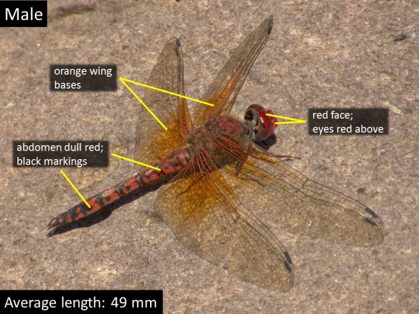 Red Rock Skimmer, Male, Jewel of the Creek Preserve, Maricopa, AZ, 19 October 2014