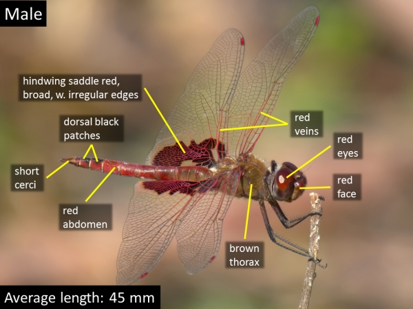 Red Saddlebags, Male, Rio Salado Habitat Restoration Area, Phoenix, Maricopa, AZ, 20 March 2015