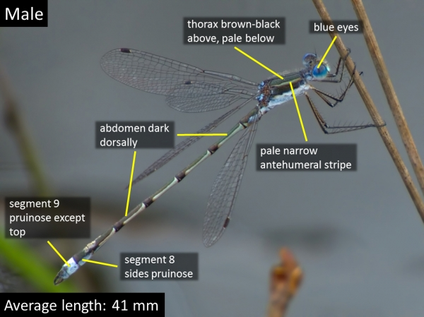 Southern Spreadwing, Male, Pine Barrens, NJ, 29 April 2017