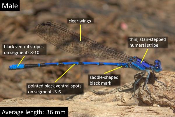 Spine-tipped Dancer, Male, Cienega Creek Natural Preserve, Pima, AZ, 8 August 2017
