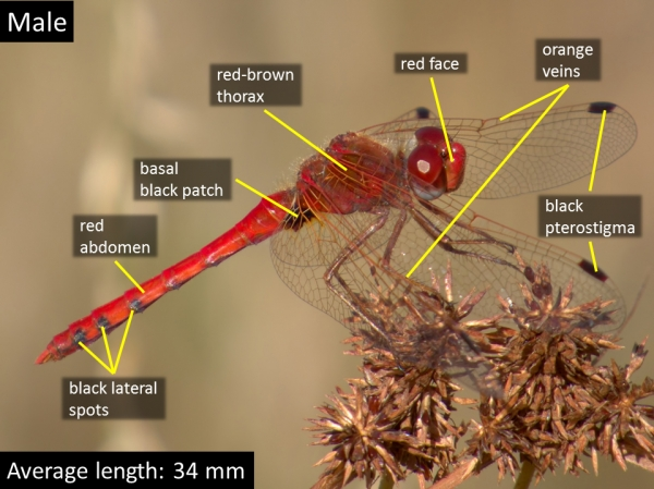 Spot-winged Meadowhawk, Male, Parker Canyon Lake, Cochise, AZ, 11 October 2014