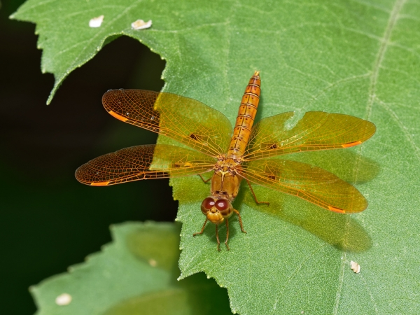 Mexican Amberwing