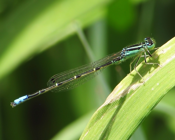 Mexican Forktail