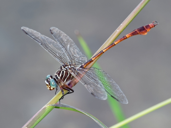 Narrow-striped Forceptail