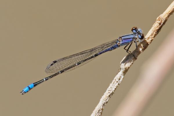 Neotropical Bluet