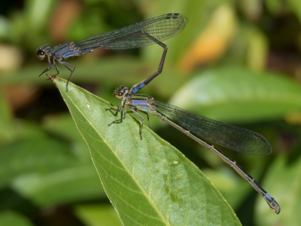 Neotropical Bluet