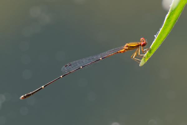 Orange-striped Threadtail