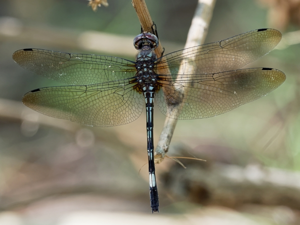 Pale-faced Clubskimmer