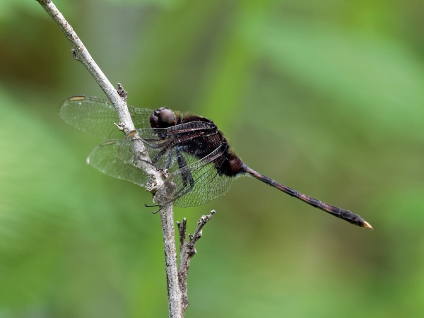 Pin-tailed Pondhawk