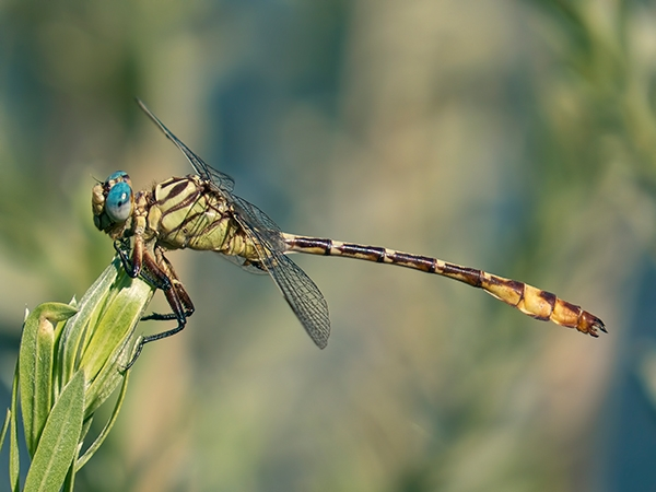 Russet-tipped Clubtail