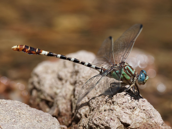 Serpent Ringtail