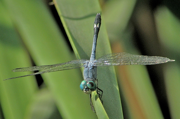 Spot-tailed Dasher