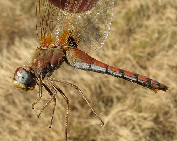 Spot-winged Meadowhawk