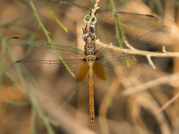 Straw-colored Sylph