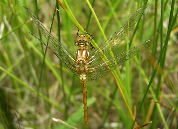 Striped Meadowhawk