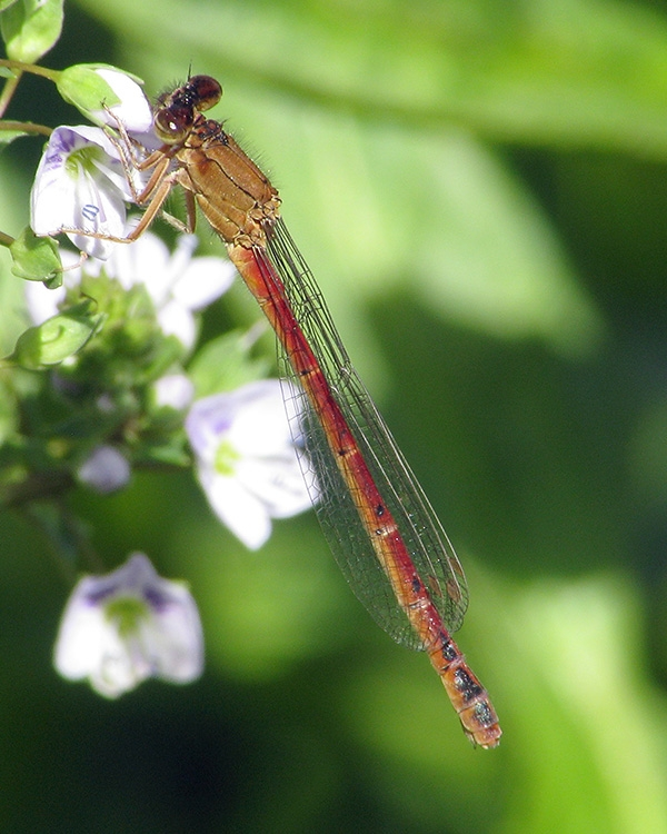 Western Red Damsel