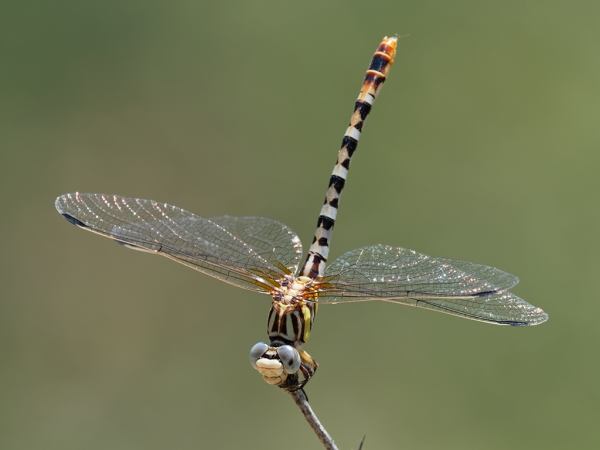 White-belted Ringtail