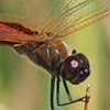 News: Antillean Saddlebags, <em>Tramea insularis</em>, at Kearny L., Pinal