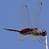 News: Sooty Saddlebags, <em>Tramea binotata</em>, in Maricopa Co., AZ: 3rd USA record.