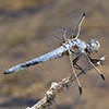 News: Bleached Skimmer, <em>Libellula composita</em>, in Maricopa Co., AZ: new early flying date for the state