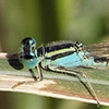 News: Desert Forktail, <em>Ischnura barberi</em>, in Maricopa Co., AZ: new early flying date for the state