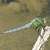 News: Western Pondhawk, <em>Erythemis collocata</em>, in Maricopa Co.: New late flying date for the state