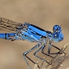 News: California Dancer, <em>Argia agrioides</em>, in Maricopa Co., AZ: new early flying date for the state