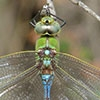 News: Giant Darner, <em>Anax walsinghami</em>, in Pinal Co., AZ: new late flying date for the state
