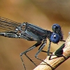 News: Dusky Dancer, <em>Argia translata</em>, in Maricopa Co., AZ: new early flying date for the state