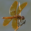 News: Eastern Amberwing, <em>Perithemis tenera</em>: Highest elevation to date in Arizona